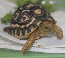 Trixie the baby Leopard Tortoise
