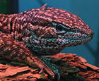 Gossamer the Red Acki Monitor Lizard