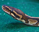 Jigsaw the Ball Python