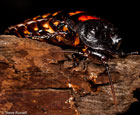 Madagascar Hissing Roaches