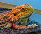 Romeo the Bearded Dragon