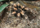 Golden Knee Chaco Tarantula